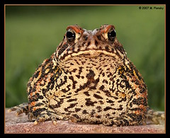 Fat Toad photo by mplonsky