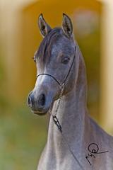 Ajmal Munerra   -الحصان العربي photo by HANI AL MAWASH