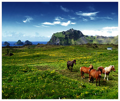 Iceland horses photo by gunnisal