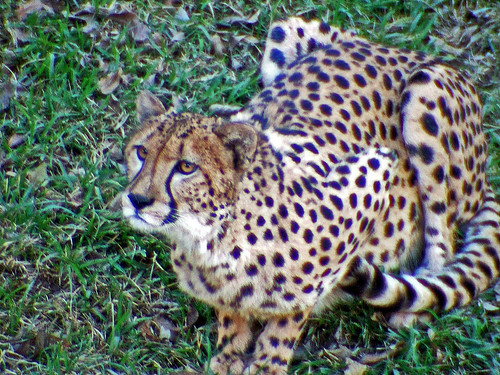 Attentive Cheetah (by enlighten-up)