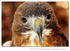 """""""Khe'ge""""  - Red Tailed Hawk (c) @ US National Zoo photo by Nikographer [Jon]"""