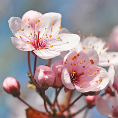 Cherry blossom photo by Gerben Wessels