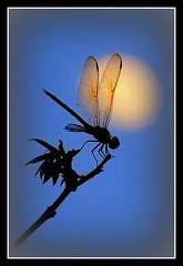 Dragonfly And The Moon photo by Waldek & Lidka