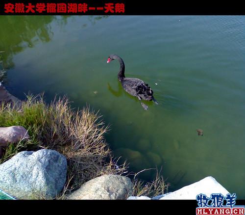 安徽大学榴园湖畔天鹅_03