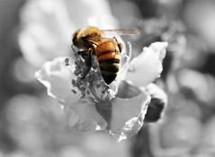 Selective Bee photo by Akeldema