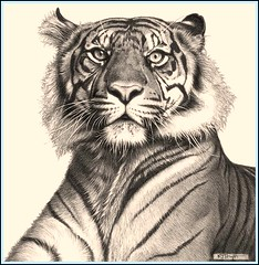 'Tiger Rising' Fine Art Pencil Drawings www.drawntonature.co.uk photo by kjhayler