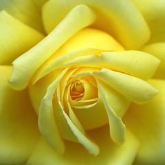 Yellow rose macro photo by Giovanni88Ant