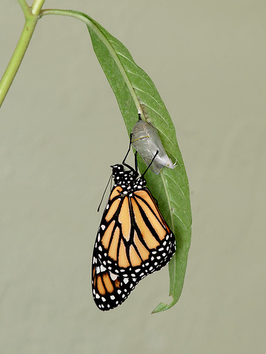 Monarch-out-a-little