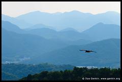 Eagle Flying Above Hills Near Himeji, View from Mount Shosha, Hyogo Prefecture, Kansai region, Honshu Island, Japan photo by ILYA GENKIN / GENKIN.ORG