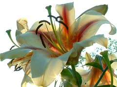 Gorgeous Lily photo by Stanley Zimny (Thank You for 9,000,000 views)