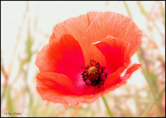 coquelicot photo by yfic1942
