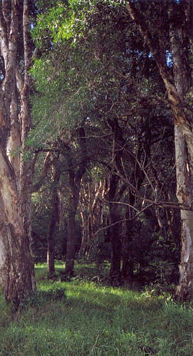 Paperbark Forest #1