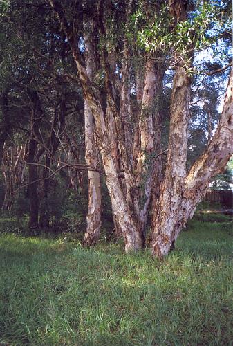 Paperbark Forest #2