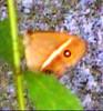 Okinawan Moth