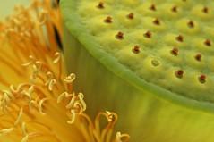 lotus world photo by macrophile