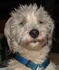 Henry: cute white terrier