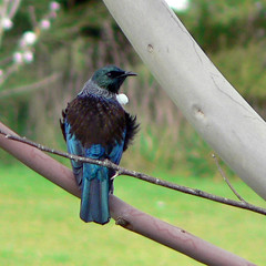 Tui in a tree photo by Brenda Anderson