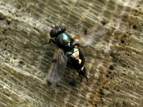 Some sort of Picture Wing Fly