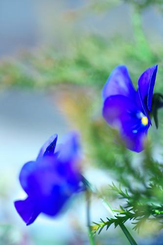 Viola*blue