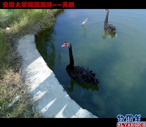 安徽大学榴园湖畔天鹅_15