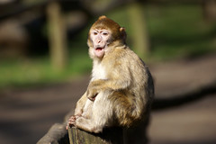 little monkey - Barbary Macaque photo by okrakaro