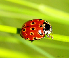 Beetle - Eyed Ladybird (Anatis ocellata) photo by timz501