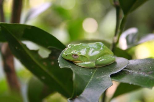 所以樹蛙才能安安穩穩的睡呢!