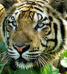 Sumatran Tiger ; i want to see you closer photo by tropicaLiving - Jessy Eykendorp