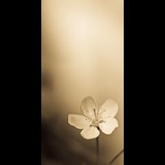 Verticals: Sepia cherry photo by manganite