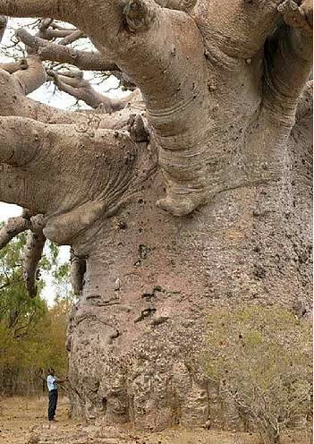image huge Baob tree in Africa also known as tree of life