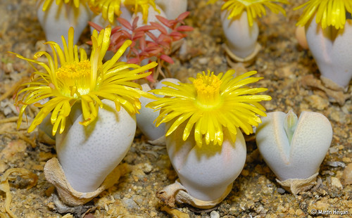Flowering Dinteranthus willmothianus photo by Martin_Heigan