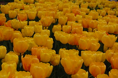 yellow tulip crowd photo by Brahte