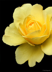 Yellow Rose Detail