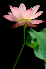 lotus flower - IMGP3462 photo by Bahman Farzad