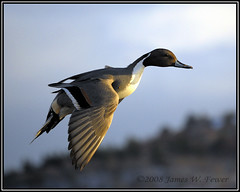 Common Pintail - Drake photo by Litehouseman