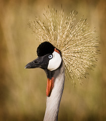 Crowned Crane photo by Wild Dogger