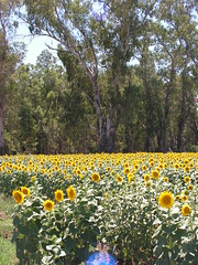 More Sunflowers in woodland