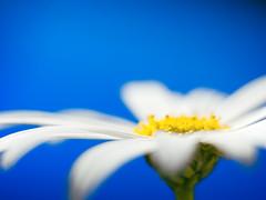 daisy wallpaper photo by .robbie