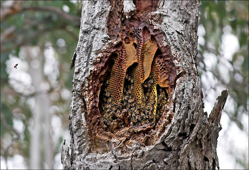 Natural comb in a log hive - The Melissa Garden.   Bee ...  Natural Beehives