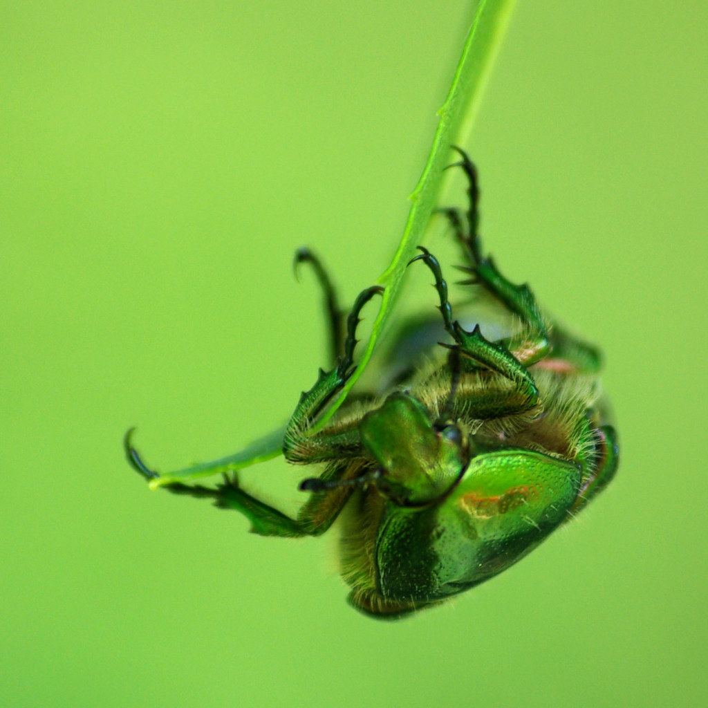 Scarabée 6 volant cétoine/ flying Beetle 6  rose chafer photo by David R Photo