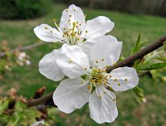 Bing Cherry Blossoms photo by jrix