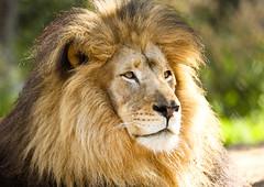 Lion King photo by vikhoa