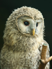 Habichtskauz / Ural Owl (Strix uralensis) photo by Sexecutioner
