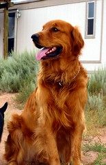Golden Retriever photo by aylads