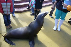 Sea lion(アシカ)