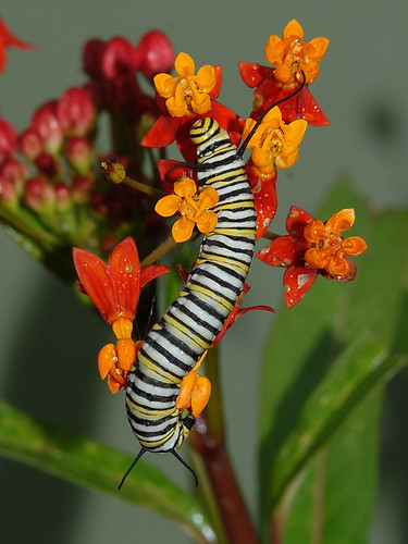 Monarch Caterpillar on Milkweed Blossom