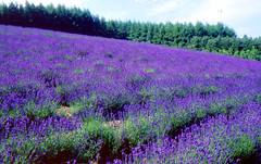 Lavender Field:北の国から photo by love_child_kyoto