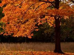 orange leaves photo by LadyMohan