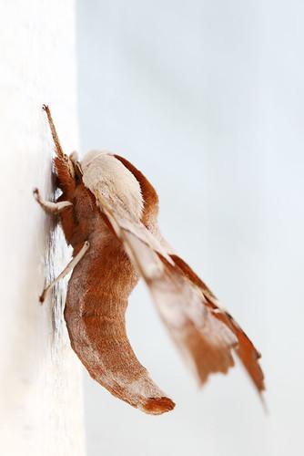 Day 130...2008...hawk or sphinx moth?