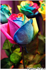 Rainbow Roses photo by Rostev